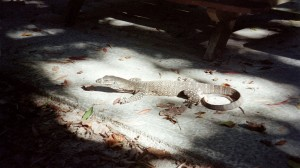 cape-trib-giant-lizard