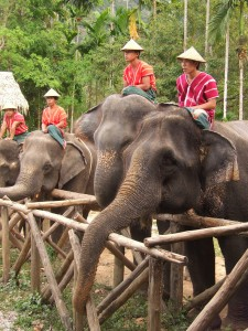 elephants with their mahouts