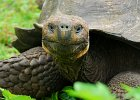 galapagos-islands-giant-tortoise